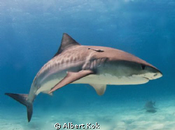 Tiger shark showing her nice skin pattern by Albert Kok 